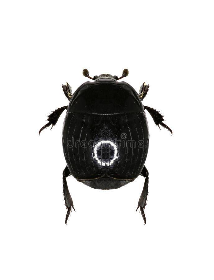Clown Beetle Margarinotus på vit bakgrund fotografering för bildbyråer