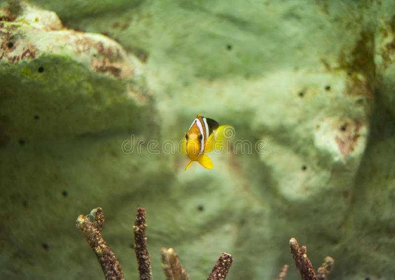 clown d'anemonefish faux photos libres de droits