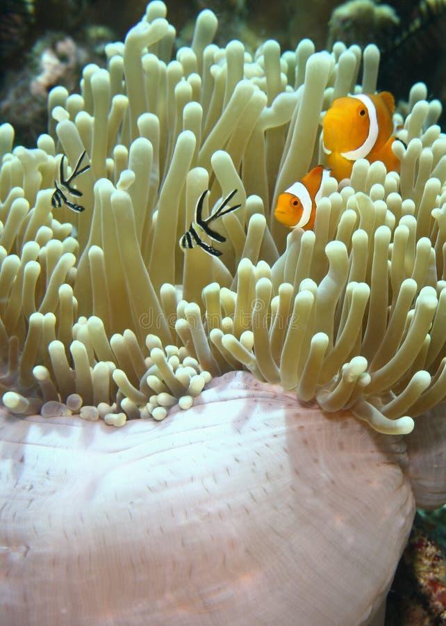 clown d'anemonefish faux images libres de droits