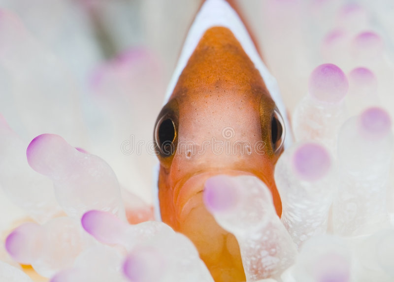 Clown face. Close-up of a clown fish in his home(shallow dof