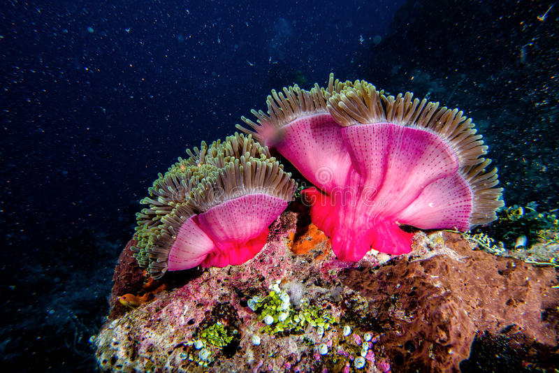Clown-Fische in der Anemone lizenzfreie stockfotos