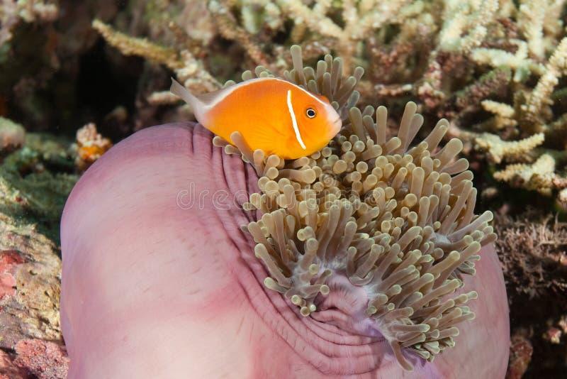 Clown-Fische, Fidschi lizenzfreie stockfotografie