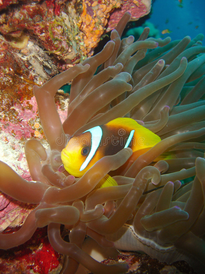 Clown-Fische Nemo stockbilder