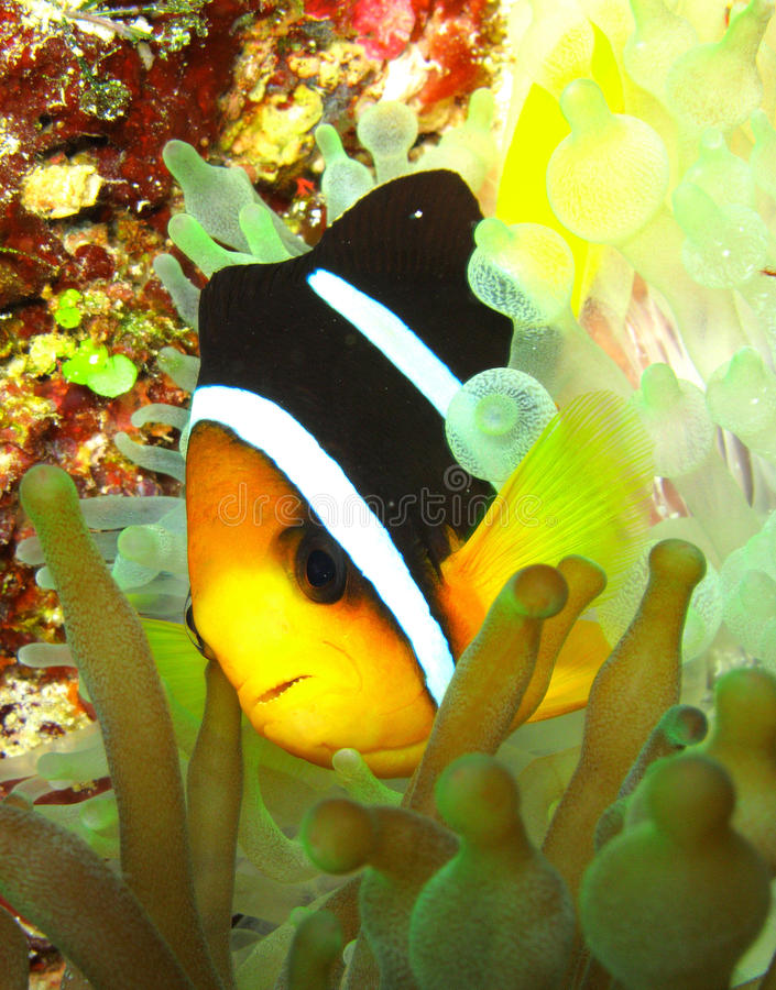 Clown Fish. Swiming in anemone royalty free stock photography