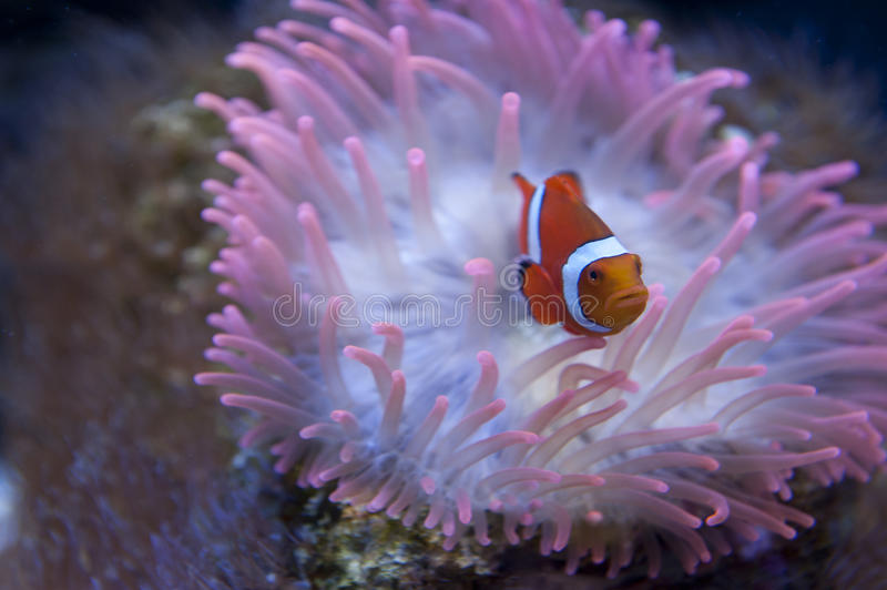 Download Clown fish stock image. Image of nature, life, finding - 23832341