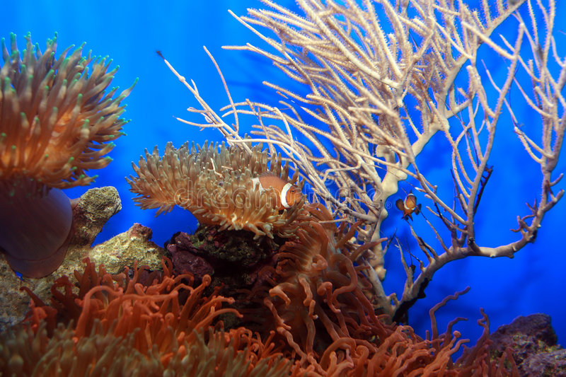 Download Clown-fish stock photo. Image of picture, indonesia, egypt - 3323192