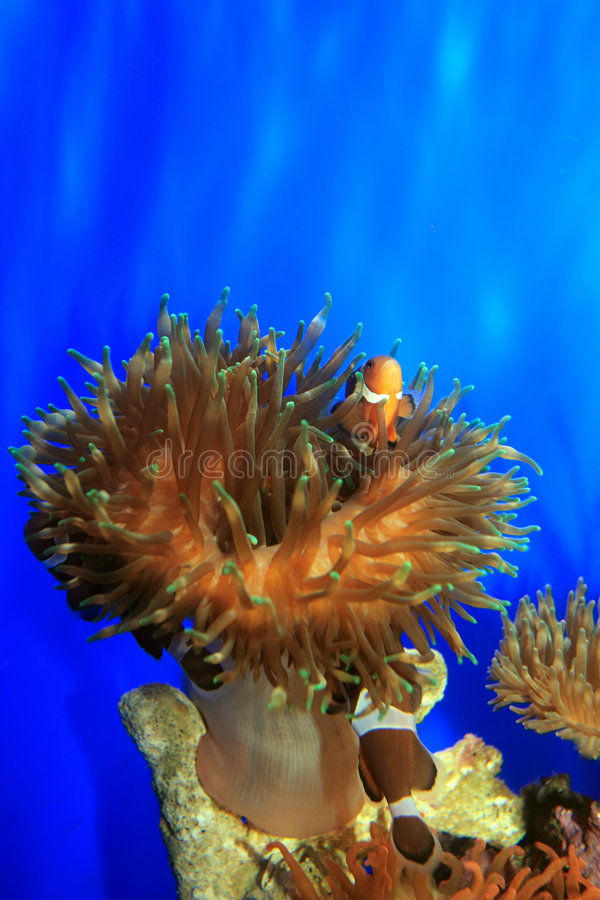Clown-fish royalty free stock images