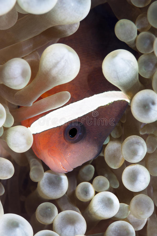 Clown Fish royalty-vrije stock foto