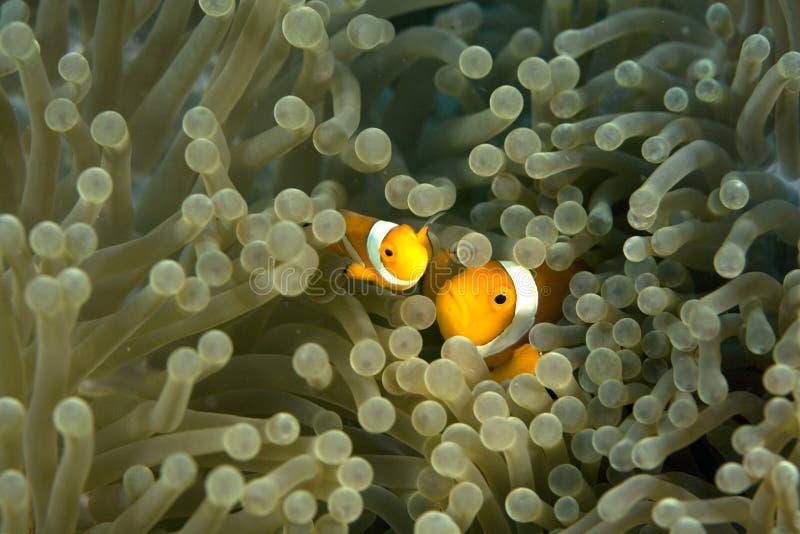 Clown Fish. Darting through the tentacles of an orange sea anemone stock image