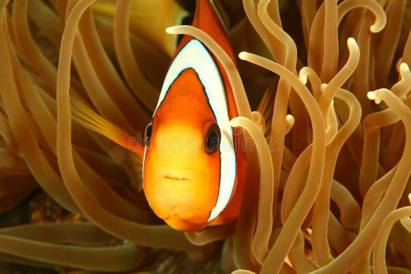 Clown Fish. Darting through the tentacles of an orange sea anemone stock photos