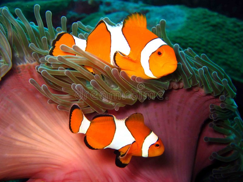 Download Clown Fish stock photo. Image of color, creature, bright - 4588862
