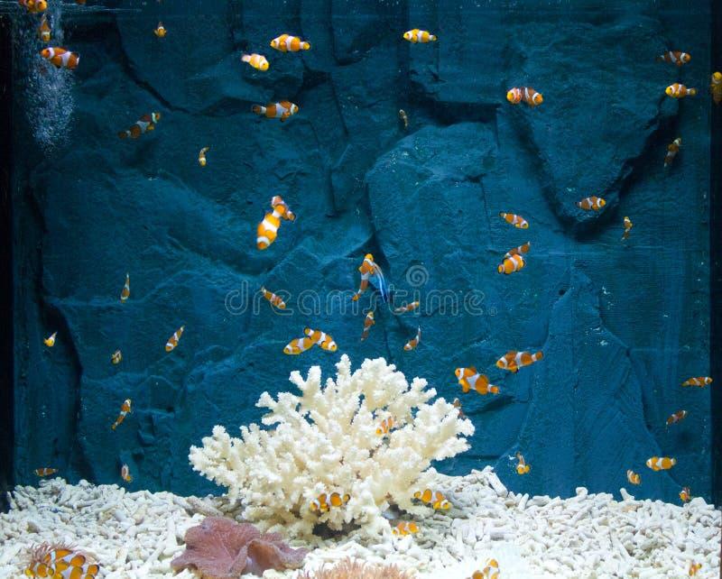 Clown Fish photo libre de droits