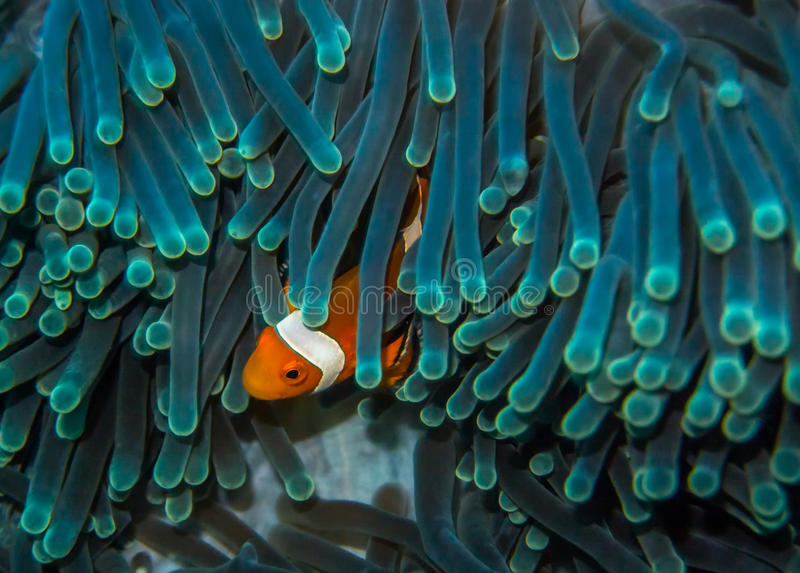 Clown Fish stockfotografie