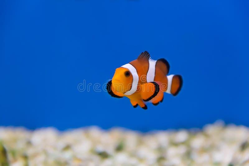 Clown Fish stockbild