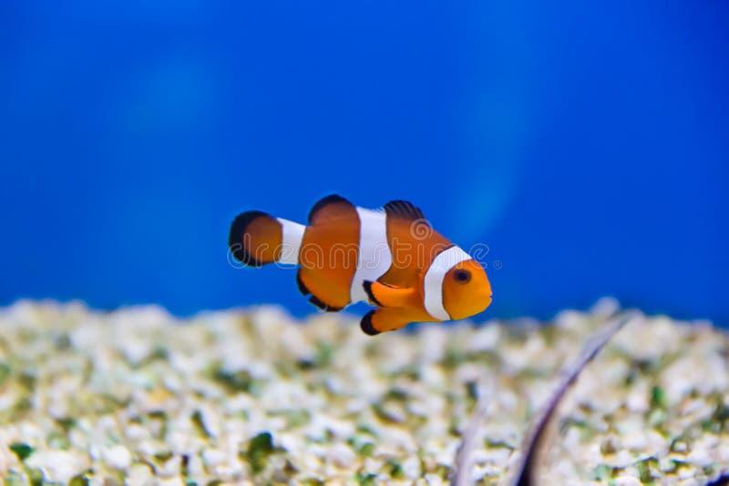 Clown Fish stockbilder