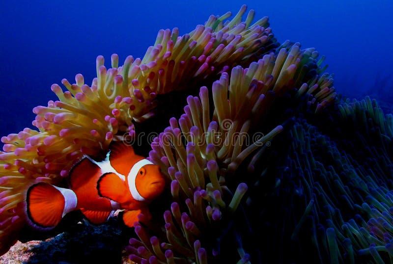 Clown fish. Scuba diving photo clown fish nemo/nimo picture taken in okinawa japan