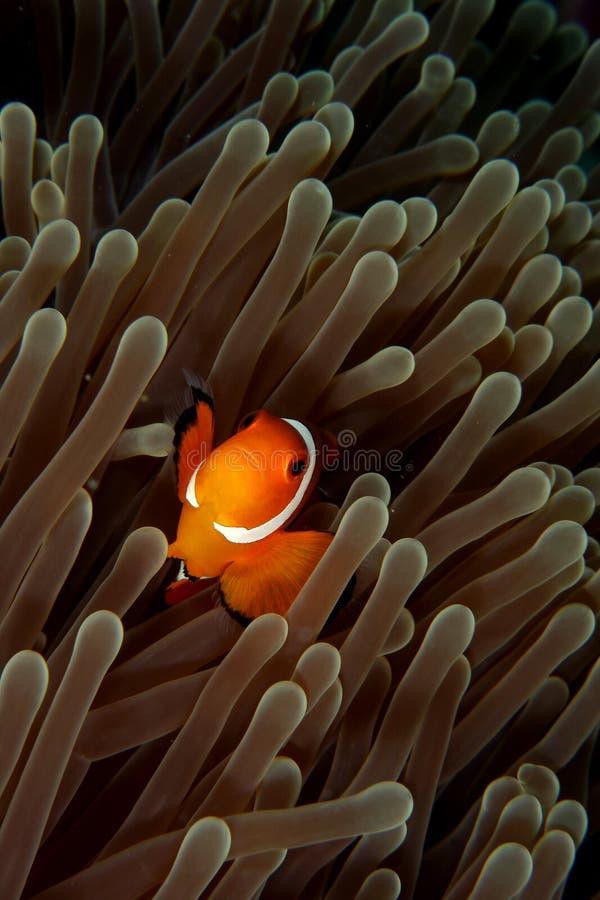 Clown fish royalty free stock image
