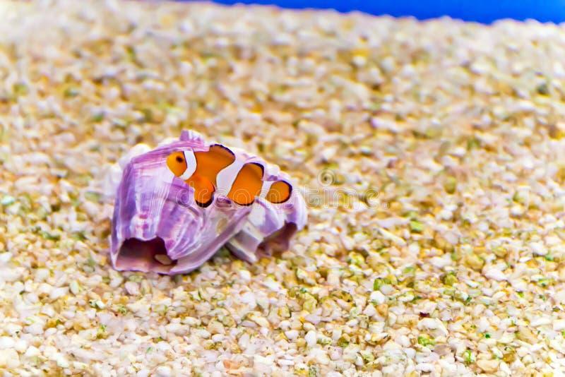 Clown Fish lizenzfreie stockfotografie