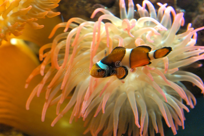 Clown fish. A little red clown fish stock images