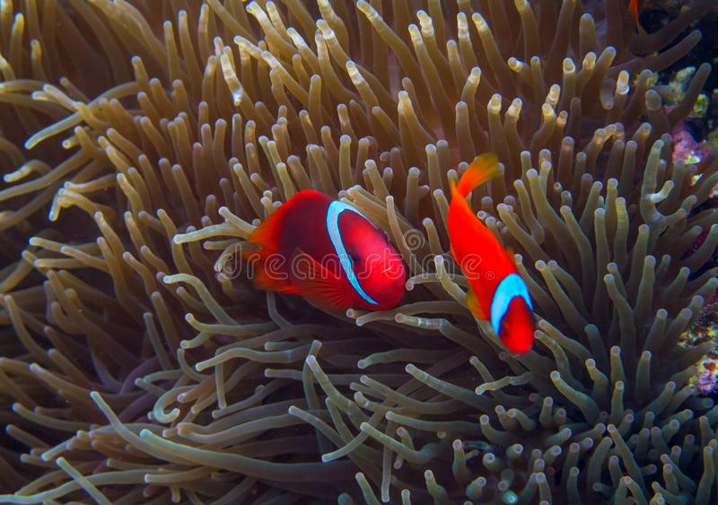 Clown fish in actinia. Orange Clownfish in anemone. Coral fish underwater photo. Anemonefish closeup. Coral reef animal. Warm tropical shore fauna. Aquarium royalty free stock image