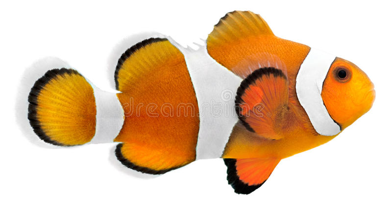 Clown fish (Amphiprion ocellaris) stock images