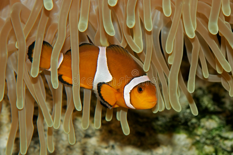 Clown fish and anemone. Underwater view of an Ocellaris clownfish (Amphiprion ocellaris) and sea anemone stock photography