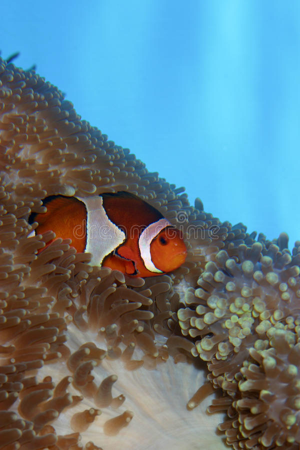 Clown Fish in Anemone. A Clown Fish nestles within the tentacles of a Sea Anemone against a distinctive, blue background royalty free stock images