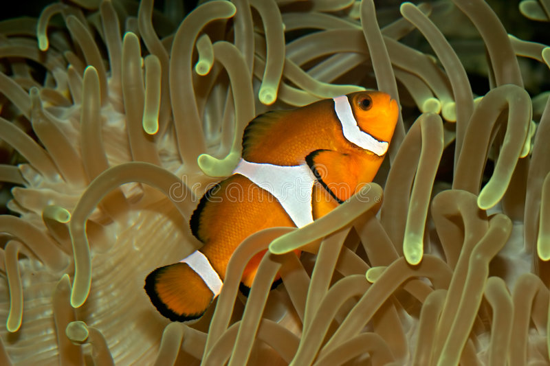 Download Clown fish and anemone stock image. Image of water, tropical - 1468735