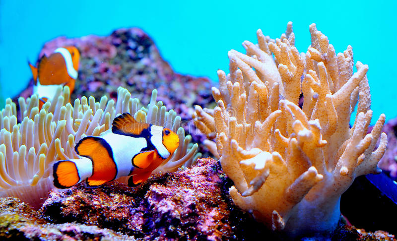 Clown fish in anemone. Clown fish swimming among the soft coral anemone