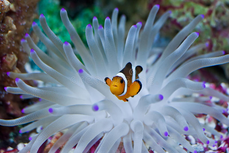 Clown Fish in the Anemone. Clown Fish swimming from the anemone Anemone royalty free stock photography