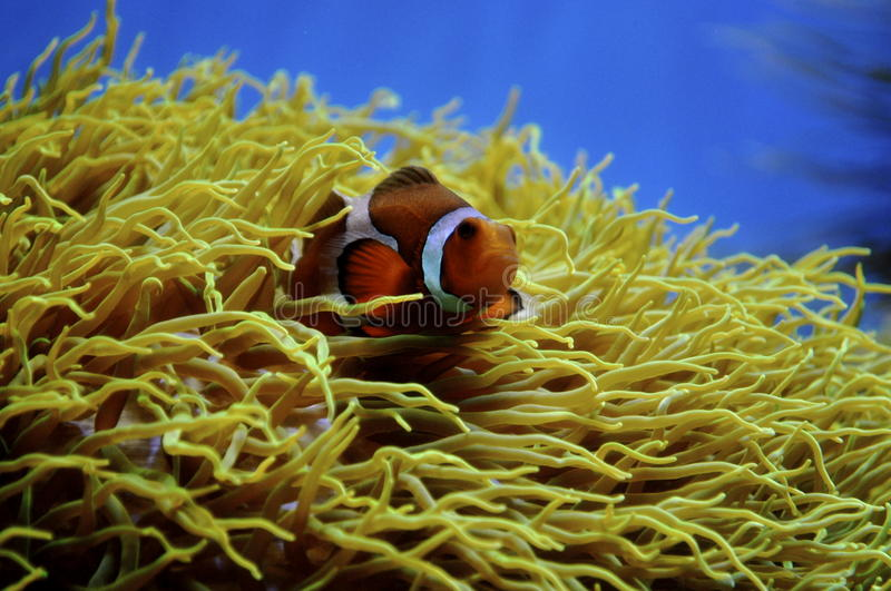Clown fish and anemone. A picture of a clown fish and anemone, a symbiatic relationship stock images
