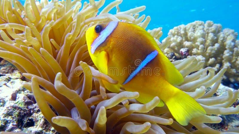 Clown fish in anemone close, Red sea. Egypt. 4K stock photo