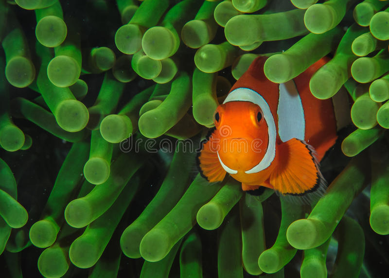 Clown fish in Anemone. Clownfish in a green Anemone stock photography