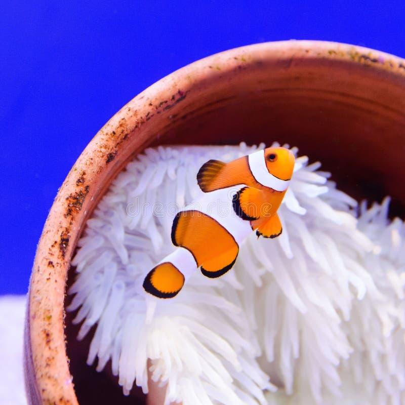 Clown fish or anemone fish stock photos