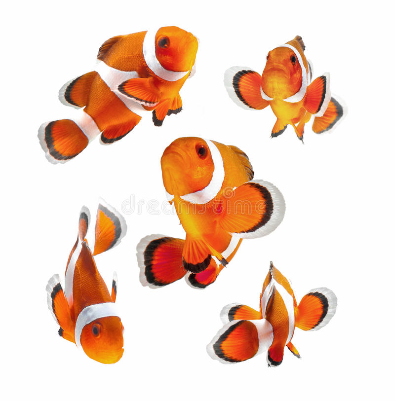 Clown fish or anemone fish isolated on white backg. Reef fish, clown fish or anemone fish isolated on white background