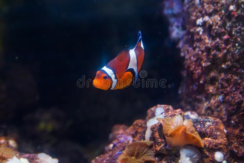 Clown fish or anemone. Wonderful and beautiful underwater world with corals and tropical fish.  royalty free stock photo