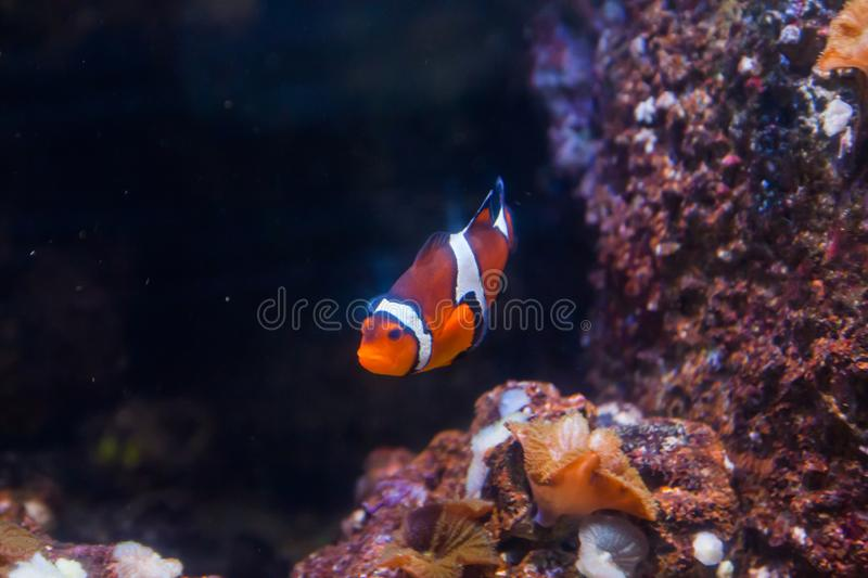 Clown fish or anemone. Wonderful and beautiful underwater world with corals and tropical fish.  royalty free stock photography