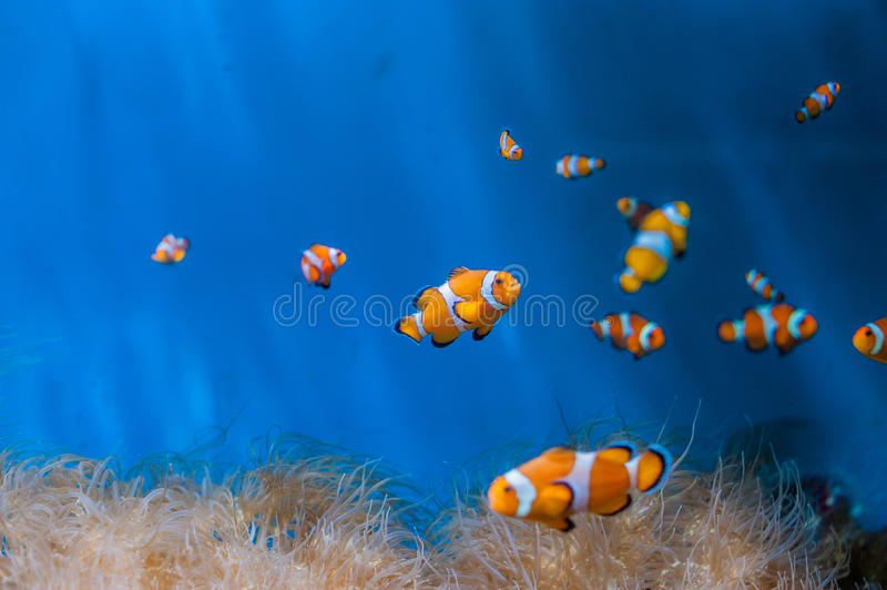 Clown fish and anemones on a blue background stock photos