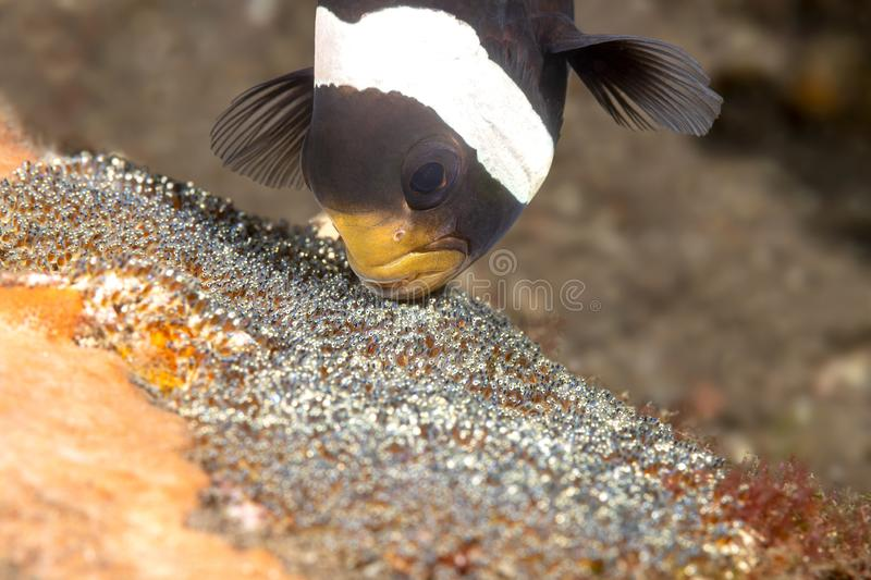 Clown fish cleaning eggs. A clown fish in the Tulamben region of Indonesia cleans and aerates its nest of eggs before they hatch stock images