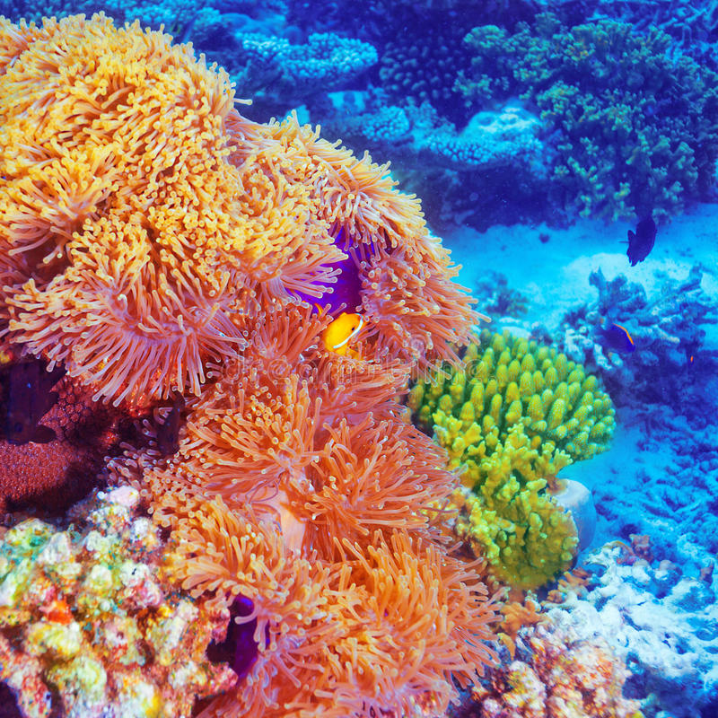 Clown fish in coral garden stock image. Image of ...