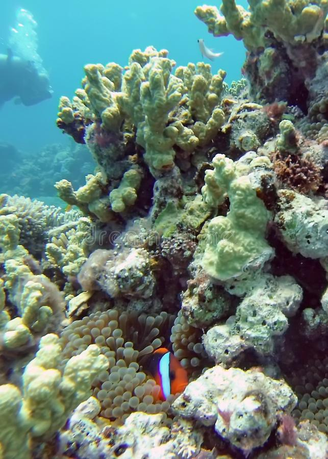 Clown fish on a coral head on the Great Barrier Reef stock image
