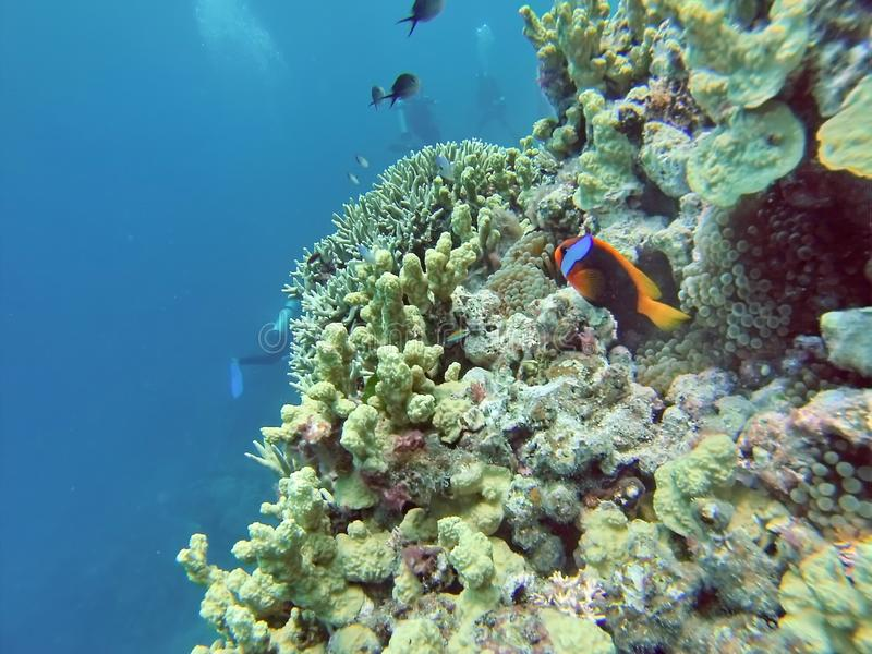 Clown fish on a coral head on the Great Barrier Reef stock images