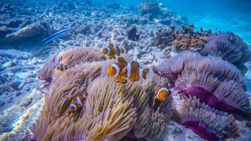 Clown fish on a coral reef, in Perhentian Island, Malaysia. Clown fish are protected with an anemone royalty free stock image
