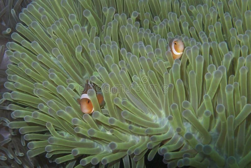 Clown Fish Couple i det luminiscenta havet Anemone Home av den Balicasag ön, Bohol Filippinerna arkivfoton
