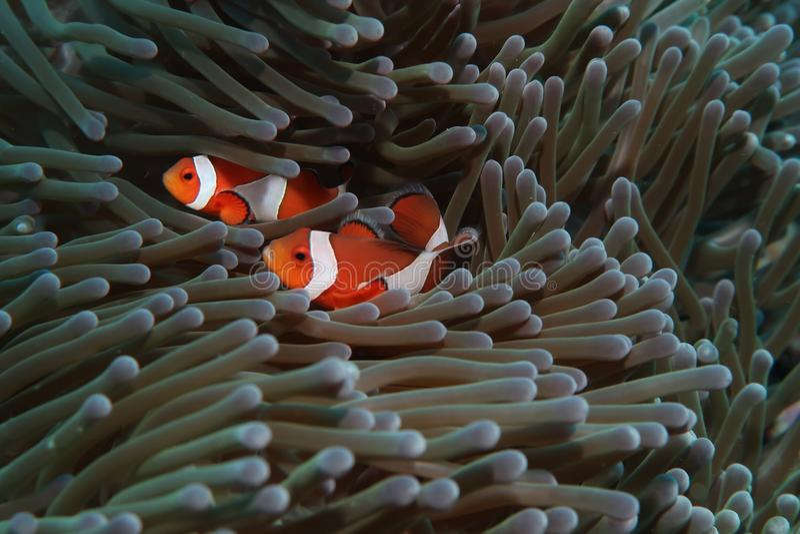 Clown fish couple royalty free stock photo