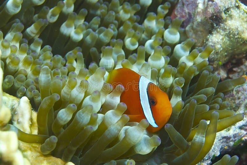 Clown Fish dans l'actinie de bulle outre de l'aumônier Burgos, Leyte, Philippines photos stock