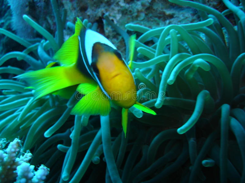 Clown fish defending its anemone in the Red Sea stock images