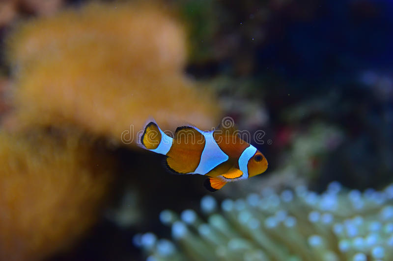 Clown fish with different corals in the background particularly recognizable Sea Anemone on the bottom right stock photography