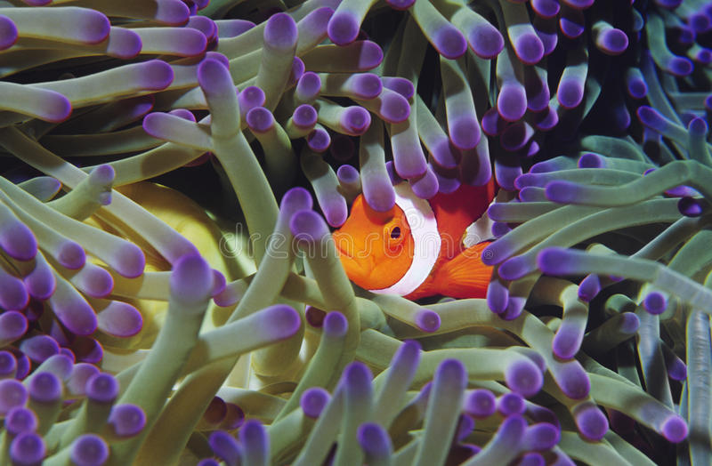 Clown fish hiding among sea anenomies royalty free stock photography