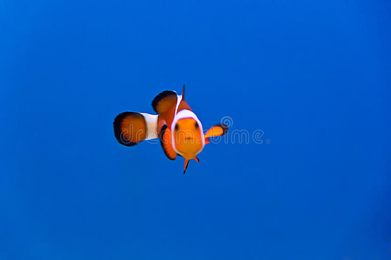 Clown fish. Image of clown fish in aquarium water royalty free stock photography